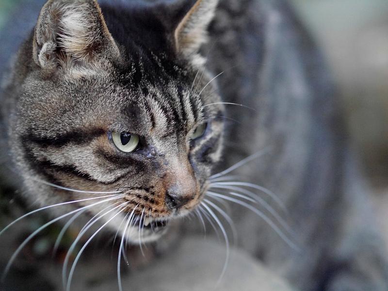 キジトラ猫の横顔2