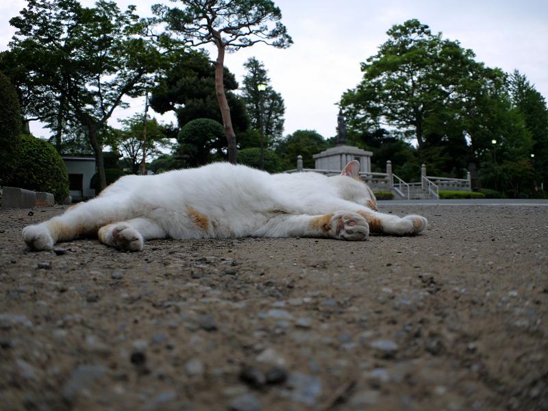 境内で寝転がる白茶猫3