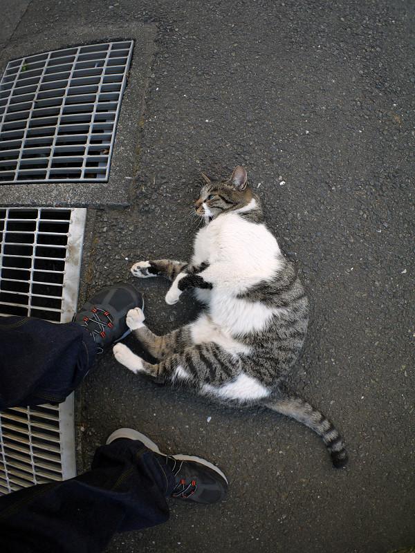 スニーカーに足をくっつけるキジ白猫3