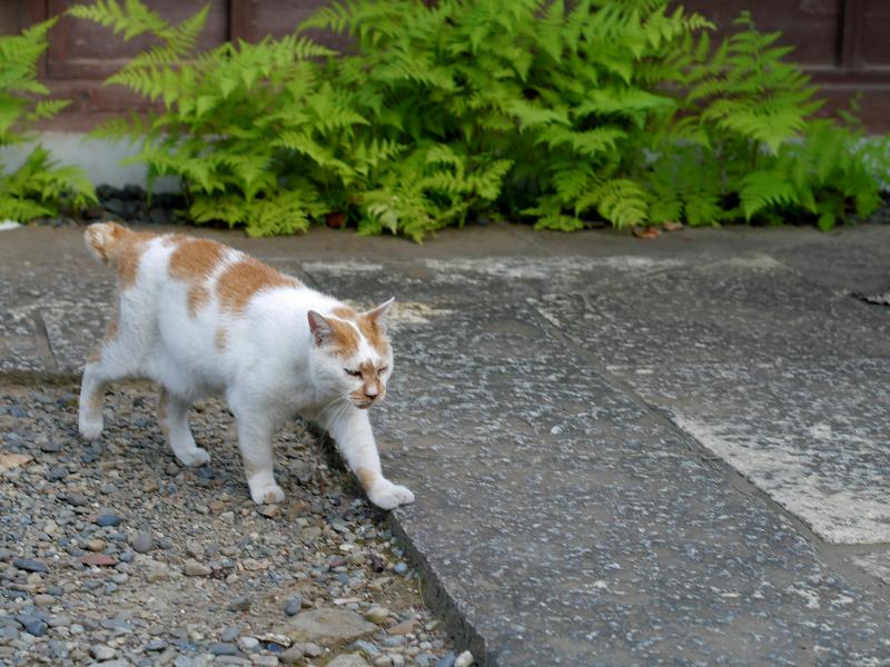歩み寄る白茶猫3