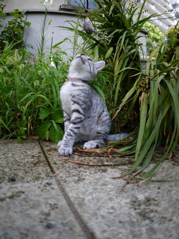 ネズミのオモチャで遊ぶサバトラ仔猫1