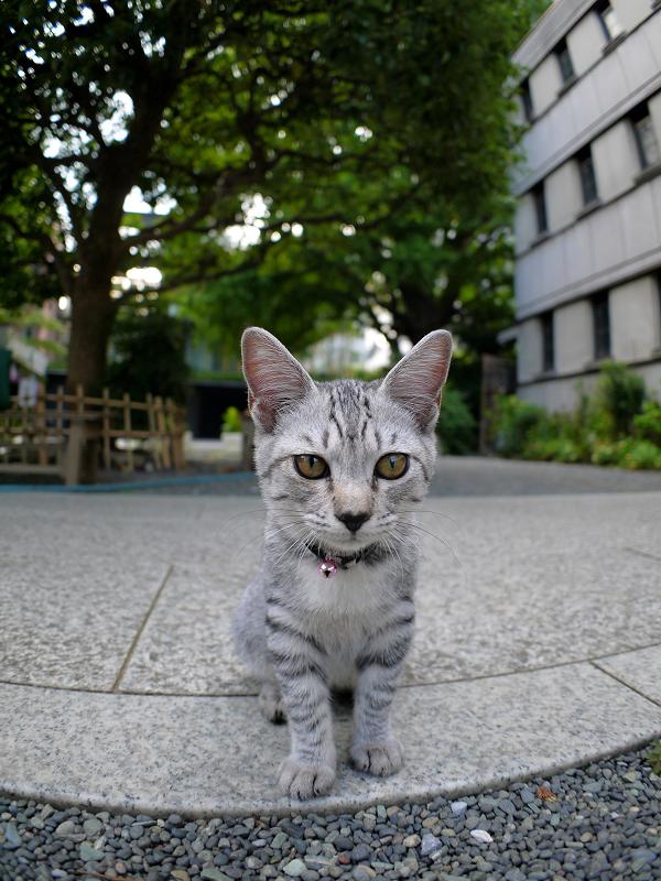真剣に見つめるサバトラ仔猫1