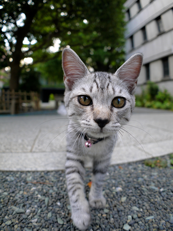 真剣に見つめるサバトラ仔猫2