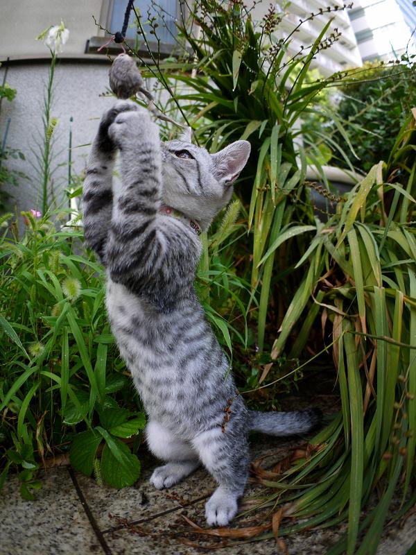 ネズミのオモチャで遊ぶサバトラ仔猫3