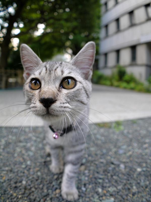 真剣に見つめるサバトラ仔猫3