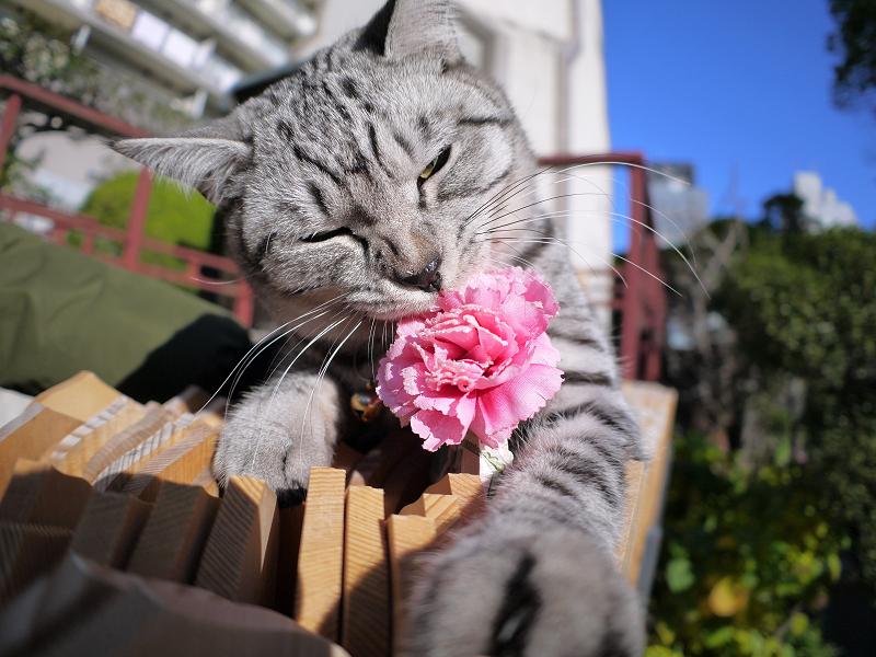 造花を引き抜くサバトラ猫3
