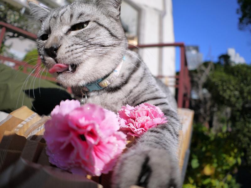 造花を引き抜くサバトラ猫4