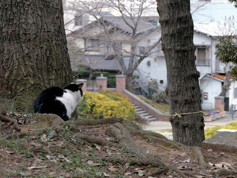 公園を見ている黒白猫1