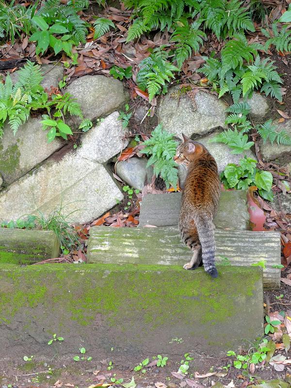 石垣前のキジトラ猫1