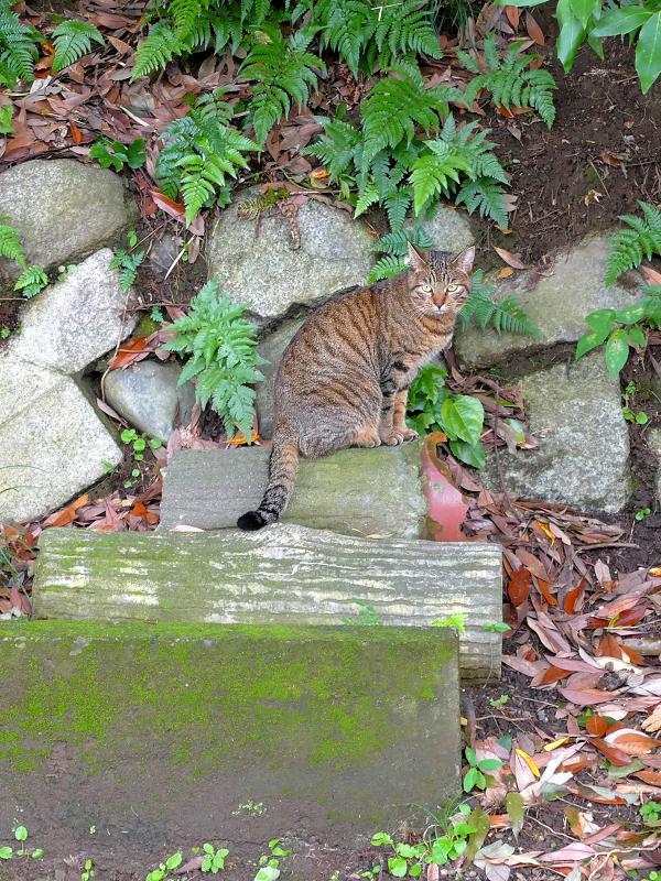 石垣前のキジトラ猫2