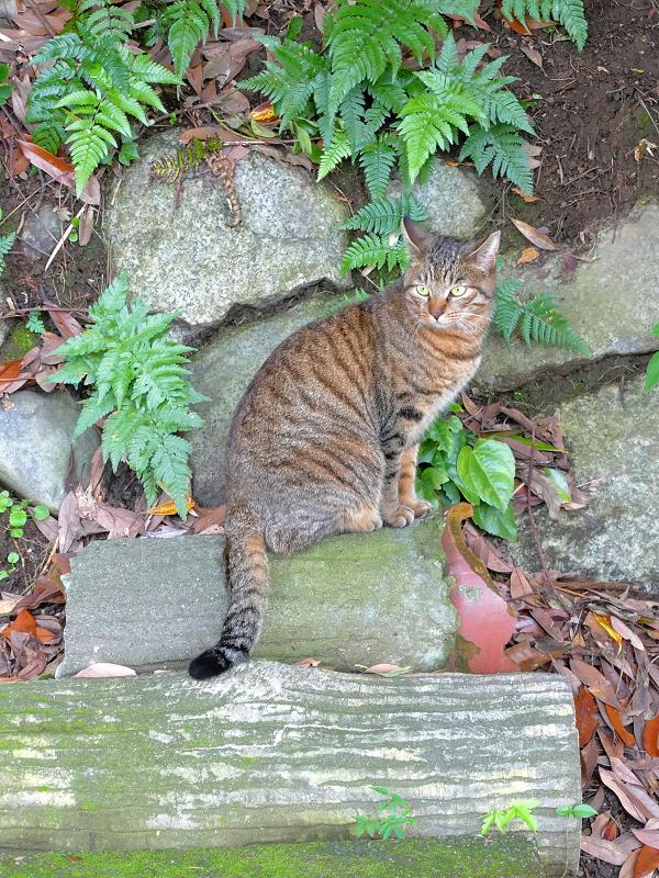 石垣前のキジトラ猫3