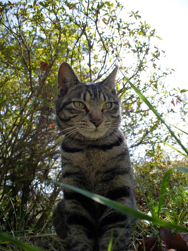 デジカメを見下ろすキジトラ猫1