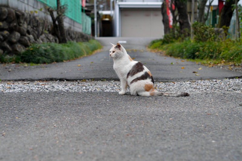参道の薄三毛猫1