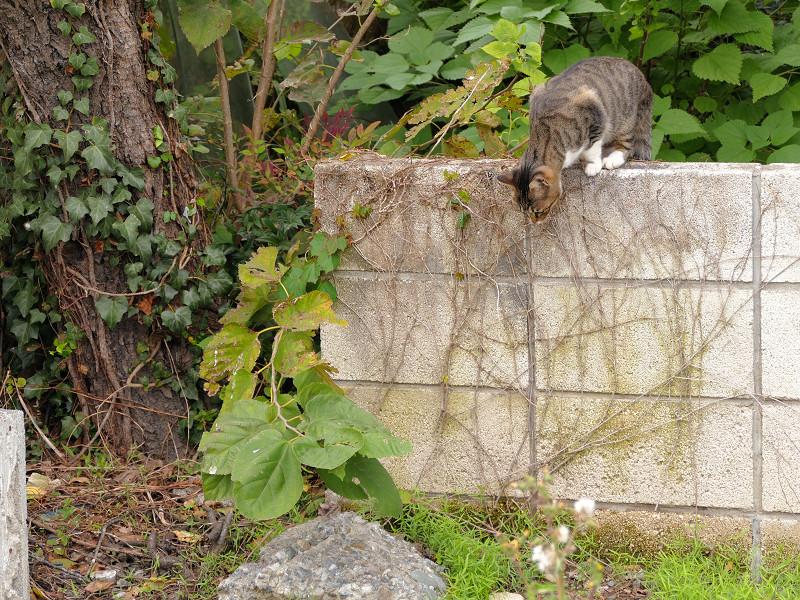ブロック塀を降りるキジ白猫1