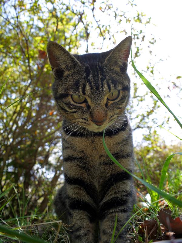 デジカメを見下ろすキジトラ猫2