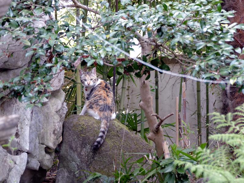 庭の岩の上の三毛猫2