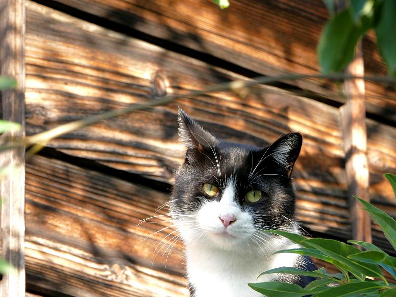 屋根上で固まる黒白猫2