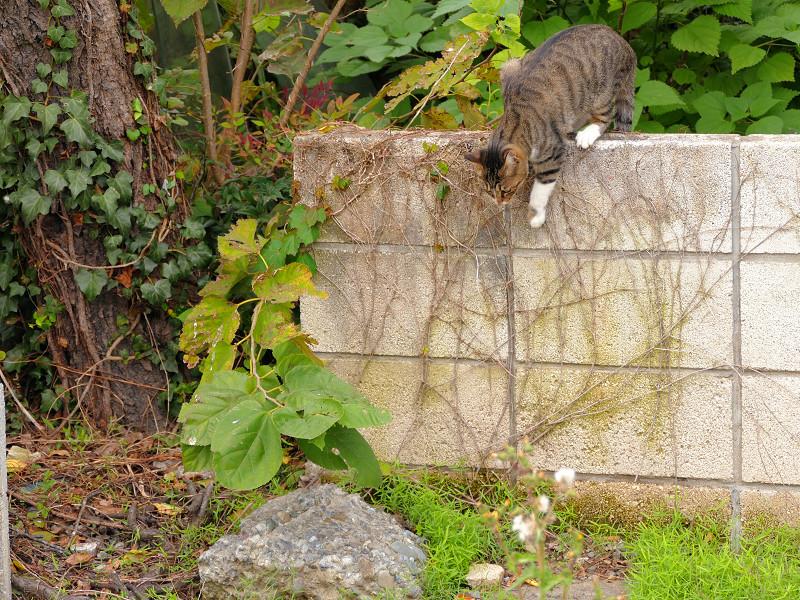 ブロック塀を降りるキジ白猫2