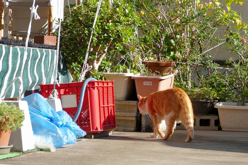 駐車場の奥へ入る茶白猫2