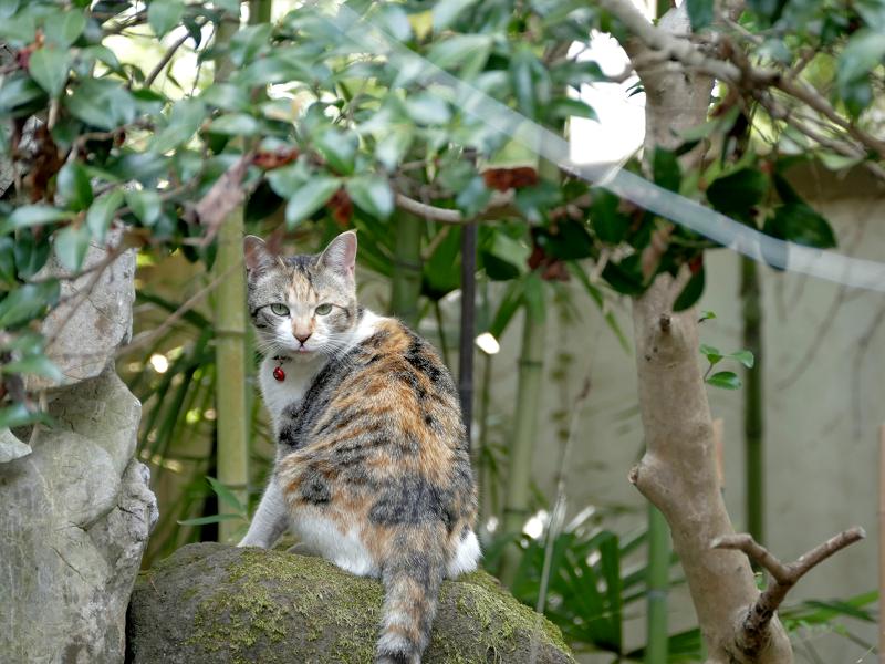 庭の岩の上の三毛猫3