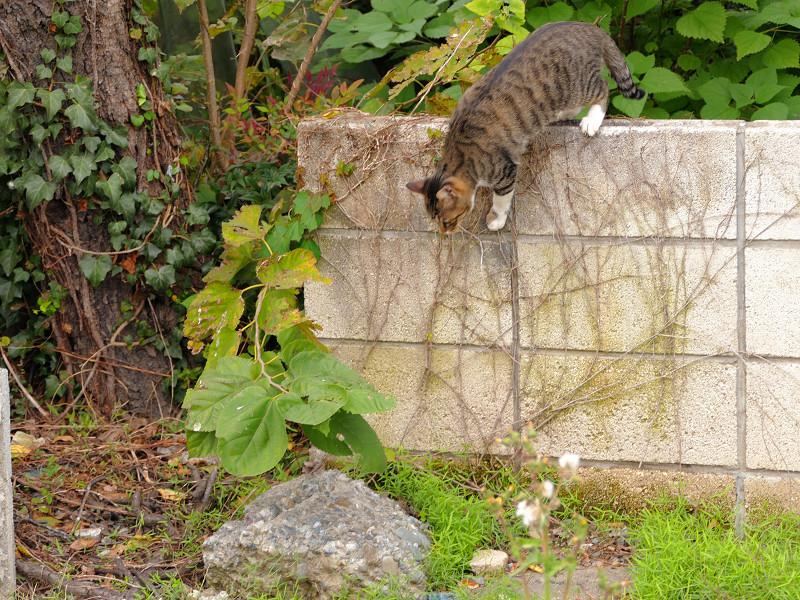 ブロック塀を降りるキジ白猫3