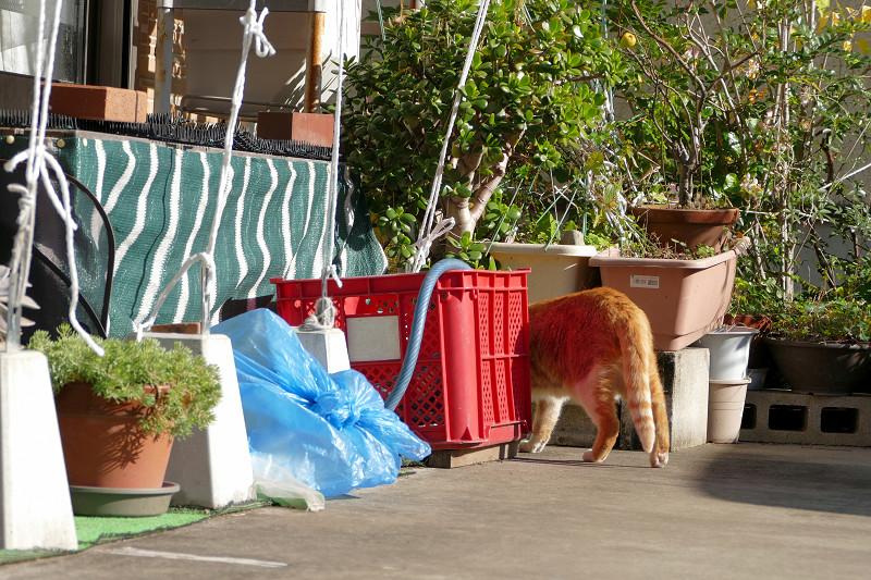 駐車場の奥へ入る茶白猫3