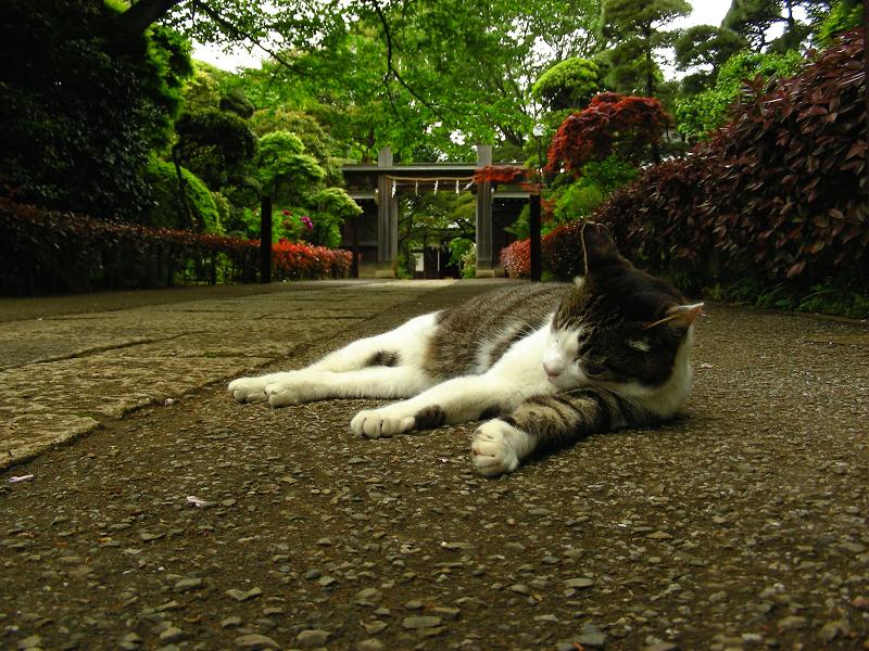 お堂参道のキジ白猫1