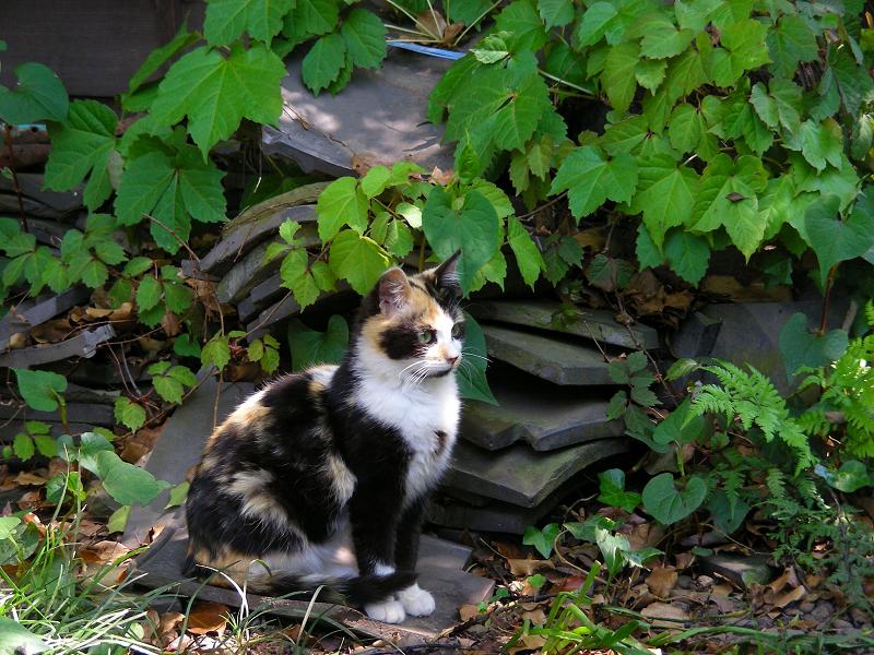 キリリとした三毛仔猫1