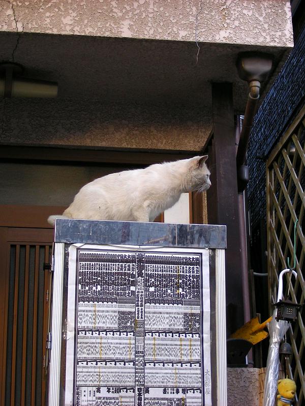 冷蔵庫上の白猫1