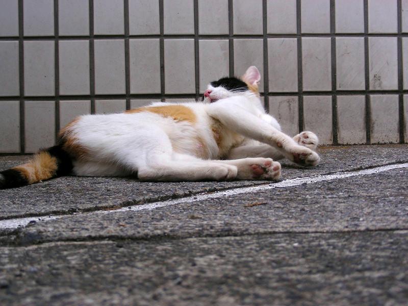 タイル前で毛づくろいする三毛猫1