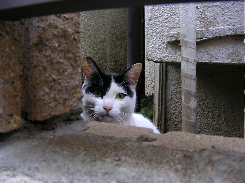 門扉の隙間から見る黒白猫1