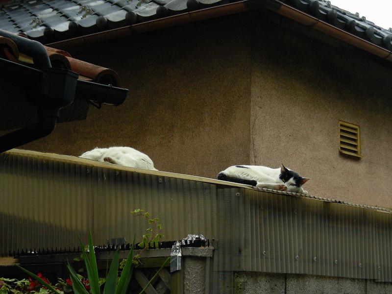 トタン屋根に猫2匹1