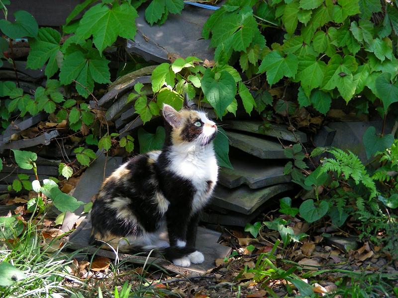 キリリとした三毛仔猫2