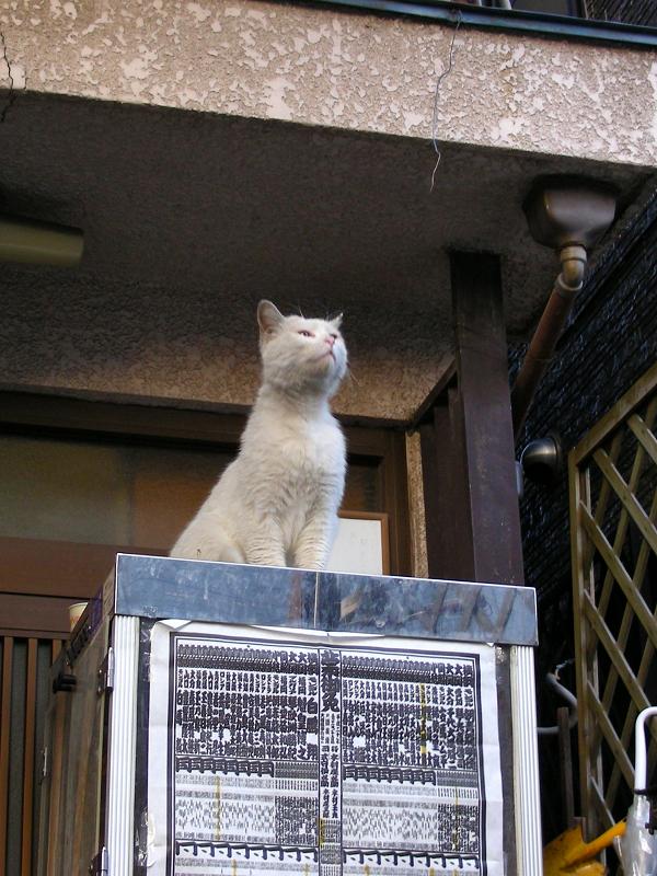 冷蔵庫上の白猫2