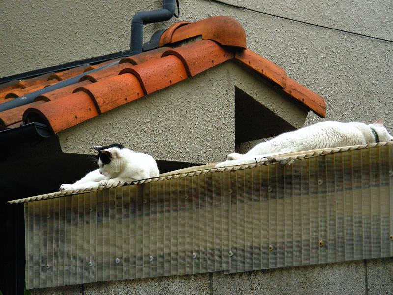 トタン屋根に猫2匹2