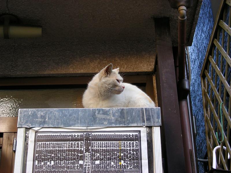 冷蔵庫上の白猫3