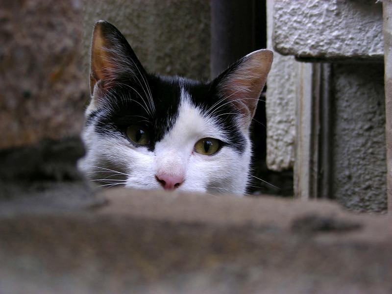 門扉の隙間から見る黒白猫2