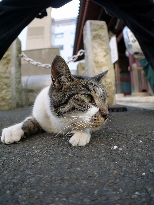 股の下のキジ白猫1