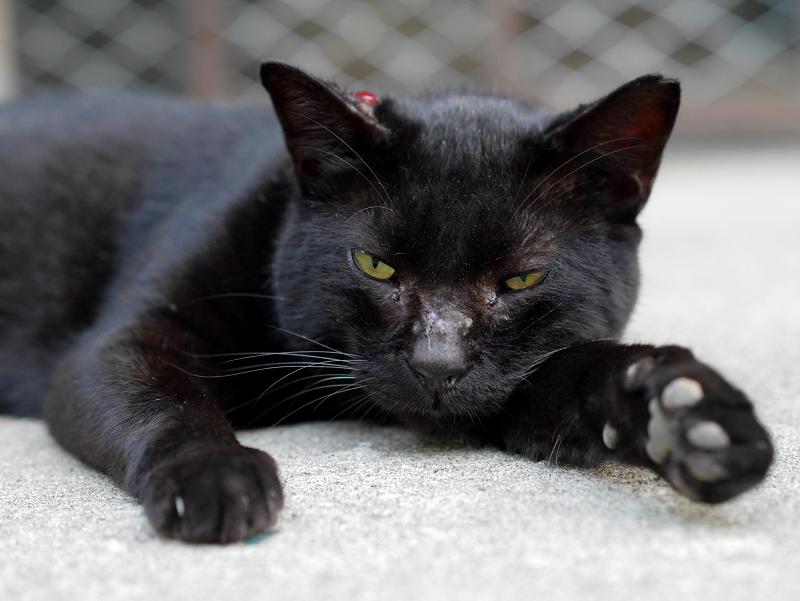 腹ばってる黒猫1