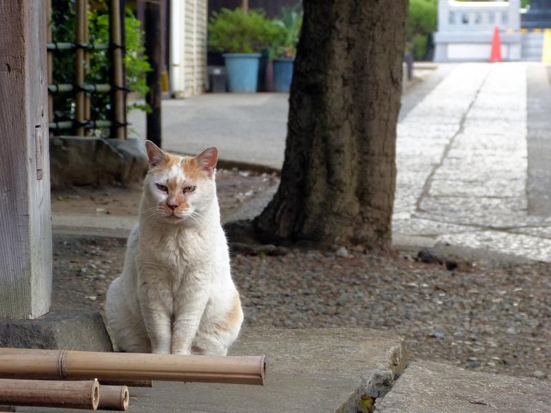 出て来た白茶猫2