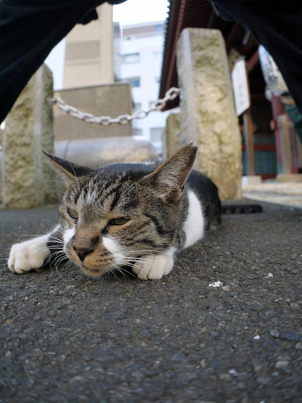 股の下のキジ白猫2