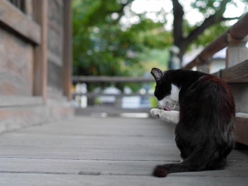 濡れ縁で毛づくろいしてる黒白猫2