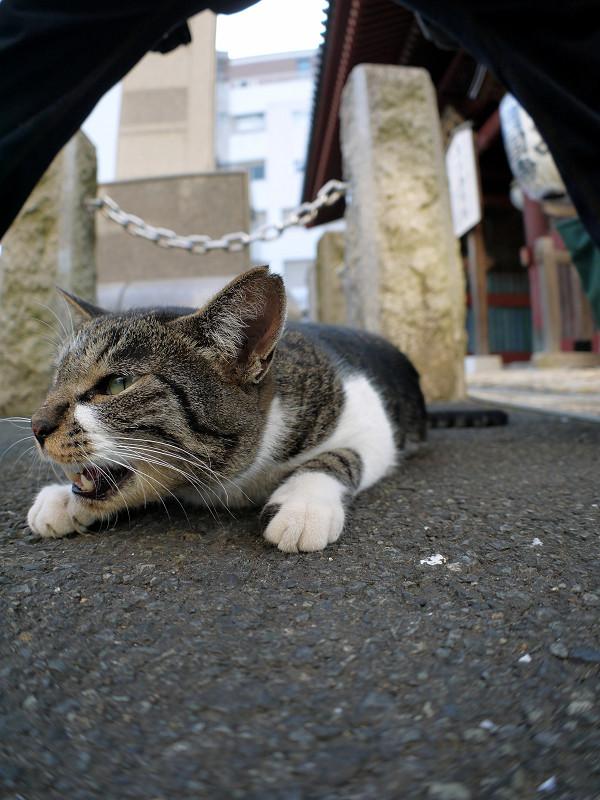 股の下のキジ白猫3