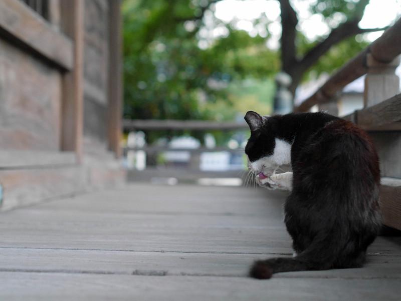 濡れ縁で毛づくろいしてる黒白猫3