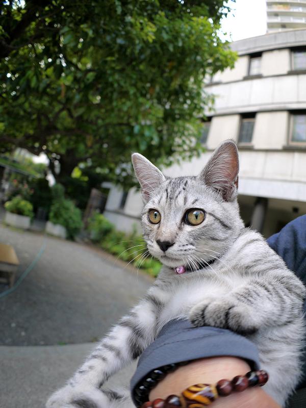 腕の中で暴れるサバトラ仔猫1