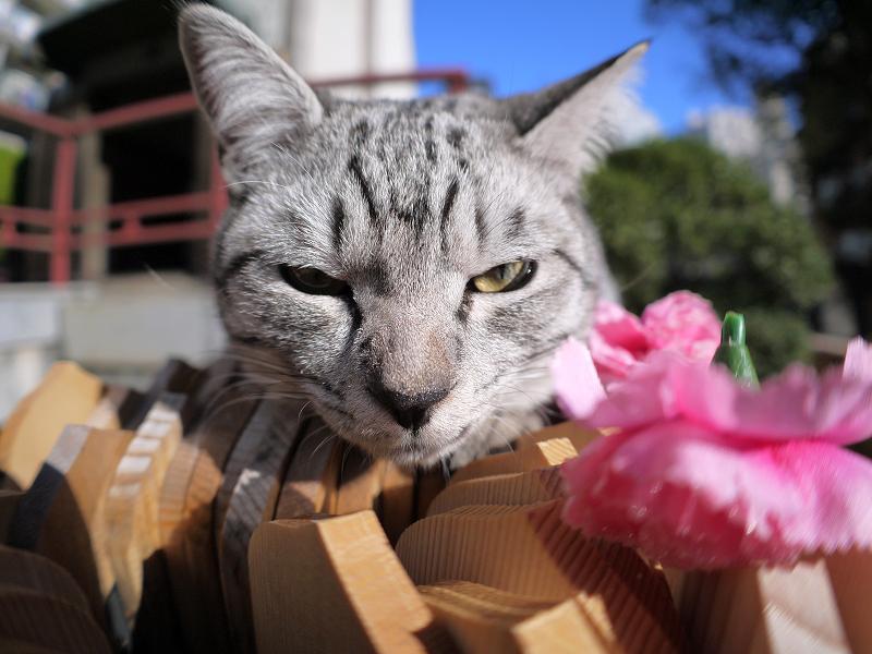 悪ガキ顔のサバトラ猫1