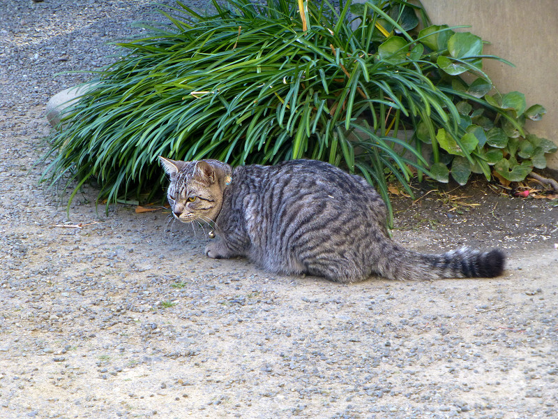 雑草とサバトラ猫1