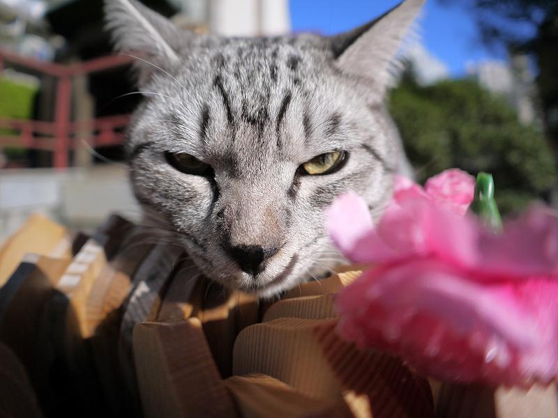 悪ガキ顔のサバトラ猫2