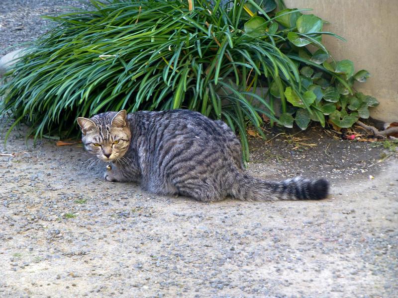 雑草とサバトラ猫2