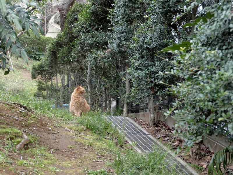 茂みを見ている茶トラ猫1